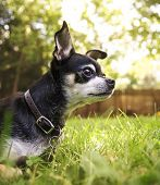 image of mutts  - a cute chihuahua in the grass looking alert  - JPG