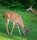 foto of black tail deer  - Whitetail buck in velvet eating with a doe licking its lips behind - JPG