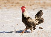 foto of bantams  - Brown speckled bantam rooster waking in snow on a sunny winter day - JPG