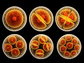 pic of zygote  - Process division of cell - JPG