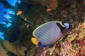 picture of emperor  - Emperor Angelfish on coral reef - JPG