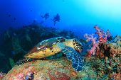 picture of sea-turtles  - Hawksbill Sea Turtle feeds on coral with people scuba diving in background - JPG