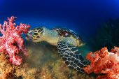 stock photo of hawksbill turtle  - Hawksbill Sea Turtle eating soft corals - JPG