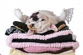 picture of laying-in-bed  - spoiled dog laying on a pile of soft dog beds isolated on white background  - JPG