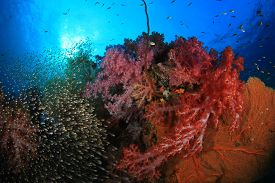 pic of sweeper  - Coral Reef with swarms of Glassfish  - JPG