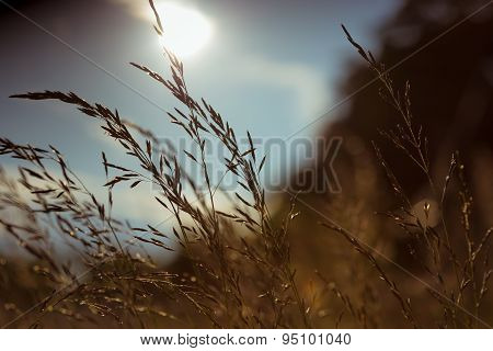 Blades Of Grass At Sunset In Summer Season