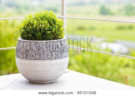 Green Buxus In Ceramic Flower Pot On A Balcony