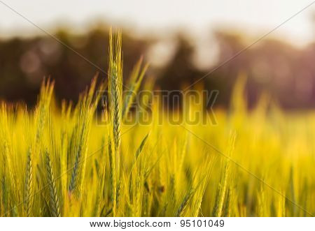 Close-up Of Wheat Straw On Field