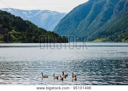 Wild geese in the fjord