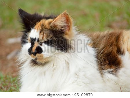 Calico Cat Laying In Grassy Yard With Closed Eyes