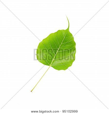 Green Leaf Pho Leaf, Bo Leaf, Isolated On White Background