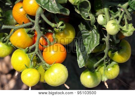 Bush tomatoes with green tomatoes