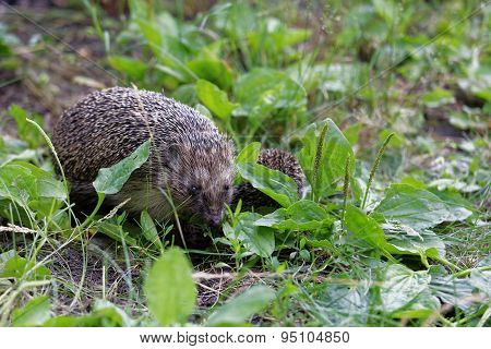 Hedgehogs On The Grass