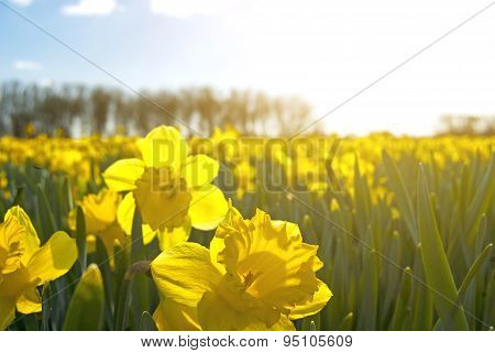 Field Of Bright Yellow Daffodils