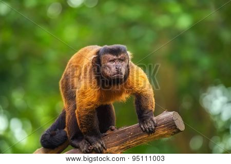 Brown capuchin monkey among the trees.