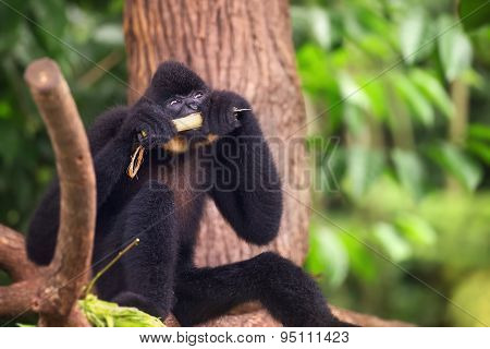 Yellow-cheeked gibbon male, Nomascus gabriellae