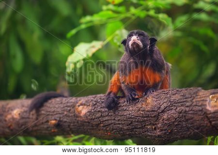 White-lipped tamarin, monkey sitting in a tree.