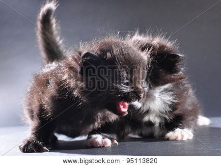 Two Small Black And White Kittens Meowing