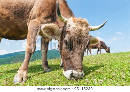 Head of a cow against pasture