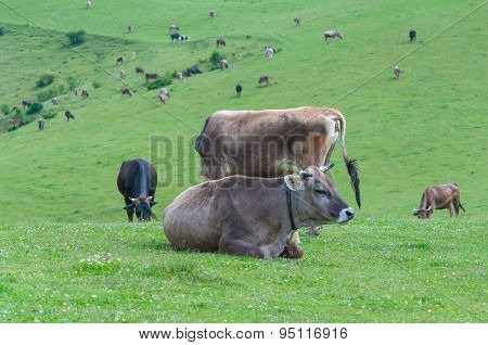 Holstein dairy cow resting on grass
