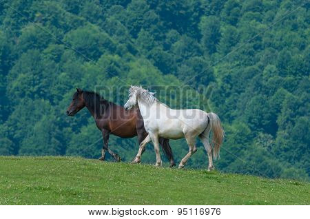 black and white horses. Wild stallion run on pasture at summer evening against mountains.