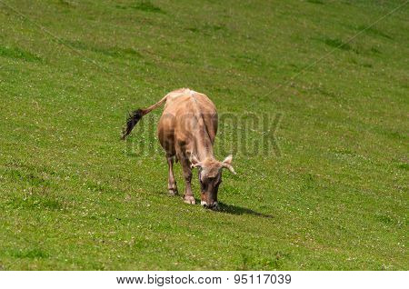brown growing steers at green grazing pasture in rural  agricultural estate as a cattle farm