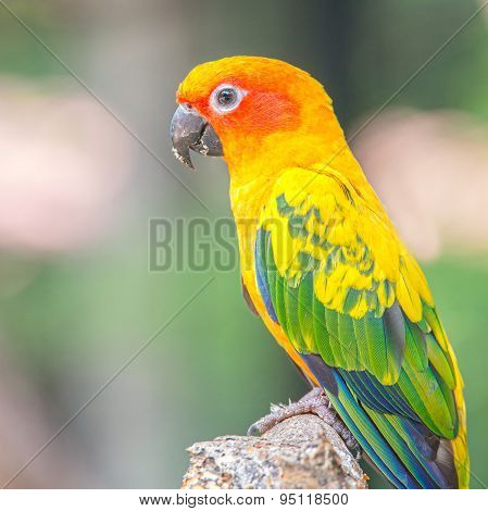 Sun Conure Parrot Standing At Branch