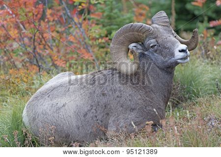 Full Curl Ram In The Wild