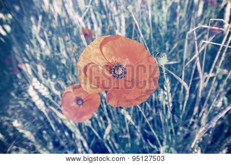 Cross Processed Retro Style Poppy Flowers.