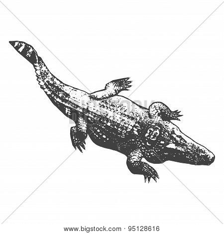 Huge Crocodile Thick, Black Contour On White Background. Top View. Vector