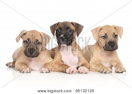 American Staffordshire Terrier Puppies