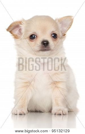 Chiwawa Puppy