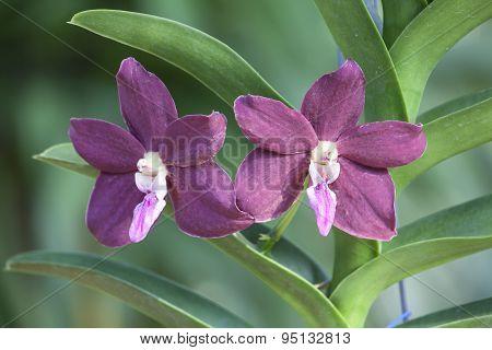 Trichovanda Thai Velvet 'meechai' Orchid