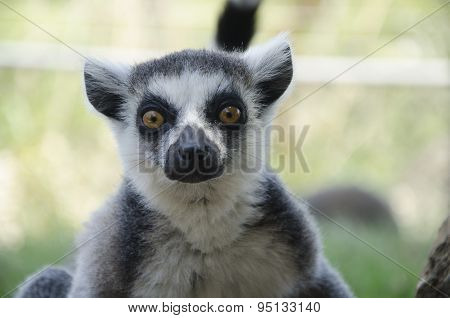 Close-up Portrait Of Lemur Catta