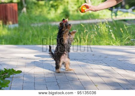 Puppy Yorkshire Terrier Plays