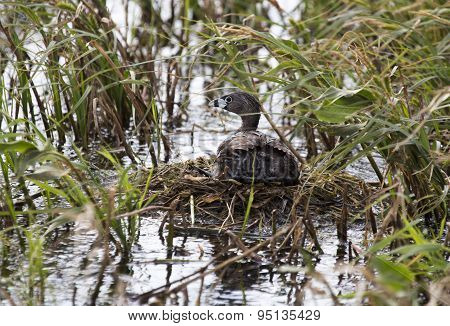 American Coot With Baby In Nest