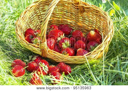 Overturned Basket Of Strawberries In The Grass