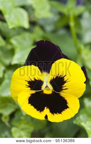 Yellow Pansy Flower
