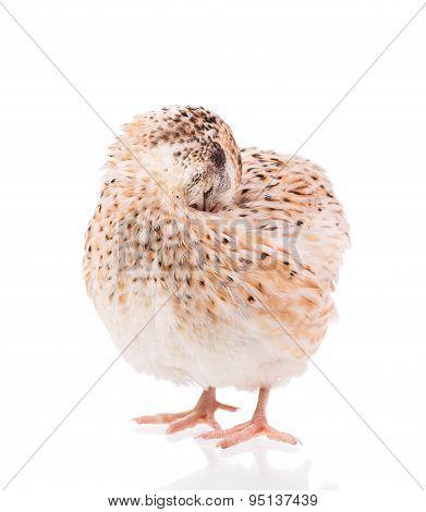 Adult quail