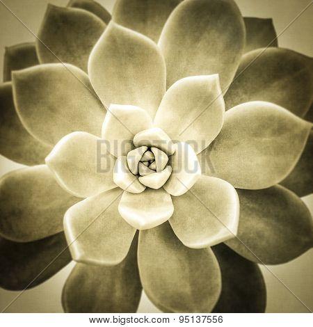 Aeonium diplocyclum plant wit texture