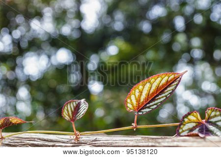 Colorful Young Creeping Plant, Climber, Typical Tropical Jungle Plant With Colorful Leaves Under Sun
