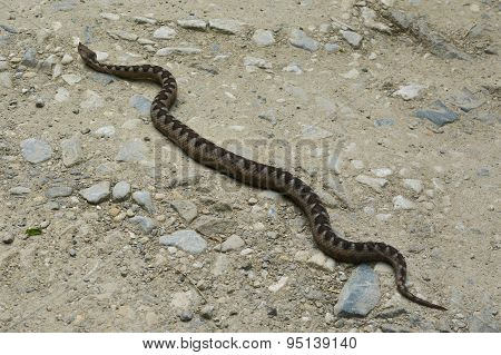 Vipera Ammodytes, Horned Viper