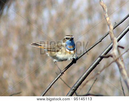 Image of Bluethroat, animals, birds