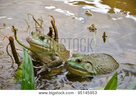 Bull Frogs At A Frog Farm