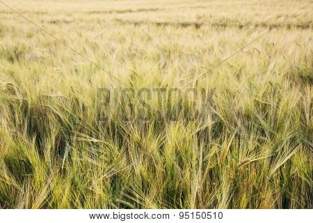 Yellow Wheat Field In The Sunset By Summer Evening