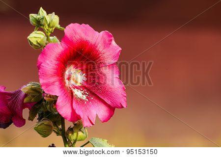 Pink Hollyhock Flower