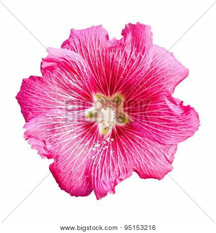 Isolated Pink Hollyhock Flower