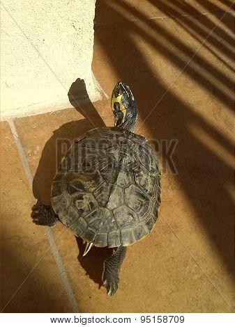 Tortuga Turtle