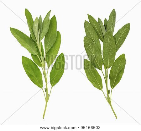 Two Sides Of Sage Leaves