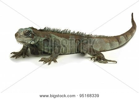 reptile white background